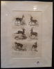 Gravure animalière : bovidés (pl.25), tirée de l'Histoire naturelle de Buffon. Buffon