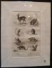 Gravure animalière : mammifères (pl.31),  tirée de l'Histoire naturelle de Buffon. Buffon