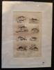 Gravure animalière : petits mammifères (pl.6),  tirée de l'Histoire naturelle de Buffon. Buffon