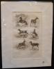 Gravure animalière : herbivores (pl.27), tirée de l'Histoire naturelle de Buffon. Buffon