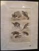 Gravure animalière : petits mammifères (pl.29), tirée de l'Histoire naturelle de Buffon. Buffon