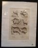 Gravure animalière : petits mammifères (pl.33), tirée de l'Histoire naturelle de Buffon. Buffon