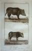Gravure animalière, planche n°30 du Buffon de la jeunesse : Sanglier, Cochon de Siam. Buffon