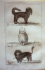 Gravure animalière (Buffon de la jeunesse) : Gredin, Bichon, Chien Lion. Buffon