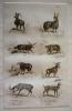 Gravure animalière, planche n°22 de l'Histoire naturelle de Buffon : Mouflon, Bélier de Valachie, Brebis de Valachie, Bélier de Tunis, Morvant de la ...