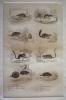 Gravure animalière, planche n°8 de l'Histoire naturelle de Buffon : Musaraigne, Musaraigne d'eau, Musaraigne de l'Inde, Loir, Lérot, Lérot à queue ...