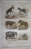 Gravure animalière, planche n°28 de l'Histoire naturelle de Buffon : Mazame, Musc, Babiroussa, Tapir, Hippopotame, Cabiai. Buffon