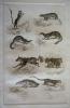 Gravure animalière, planche n°32 de l'Histoire naturelle de Buffon : Gerboise, Mangouste, Fossane, Vansir, Ysatis, Glouton, Carcajou, Kinkajou. Buffon