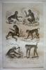 Gravure animalière, planche n°35 de l'Histoire naturelle de Buffon : Pithèque, Magot, Petit Cynocéphale, Grand Papion, Babouin des Bois, Babouin à ...