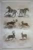 Gravure animalière, planche n°23 de l'Histoire naturelle de Buffon : Zèbre, Couagga, Elan de Sibérie, Elan d'Amérique, Renne mâle, Renne femelle. ...