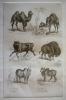 Gravure animalière, planche n°21 de l'Histoire naturelle de Buffon : Chameau, Dromadaire, Buffle, Bison, Zébu mâle, Zébu femelle. Buffon