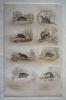 Gravure animalière, planche n°7 de l'Histoire naturelle de Buffon : Mulot, Rat perchal, Scherman, Ecureuil, Rat d'eau, Campagnol, Hamster, Cochon ...
