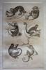 Gravure animalière, planche n°40 de l'Histoire naturelle de Buffon : Douc, Alouate, Ouarine ou hurleur, Coaïta, Sajou brun, Sajou gris. Buffon