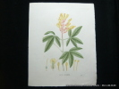 Plantes de la France, décrites et peintes d'après nature. Planche n°422  PAVIA HYBRIDE. Jaume Saint-Hilaire Jean-Henri