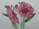 Plantes de la France, décrites et peintes d'après nature. Planche n°501  LAUROSE À GRANDES FLEURS. Jaume Saint-Hilaire Jean-Henri