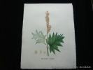Plantes de la France, décrites et peintes d'après nature. Planche n°923  RHUBARDE PALMÉE. Jaume Saint-Hilaire Jean-Henri