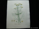 Plantes de la France, décrites et peintes d'après nature. Planche n°925  FERULE COMMUNE. Jaume Saint-Hilaire Jean-Henri