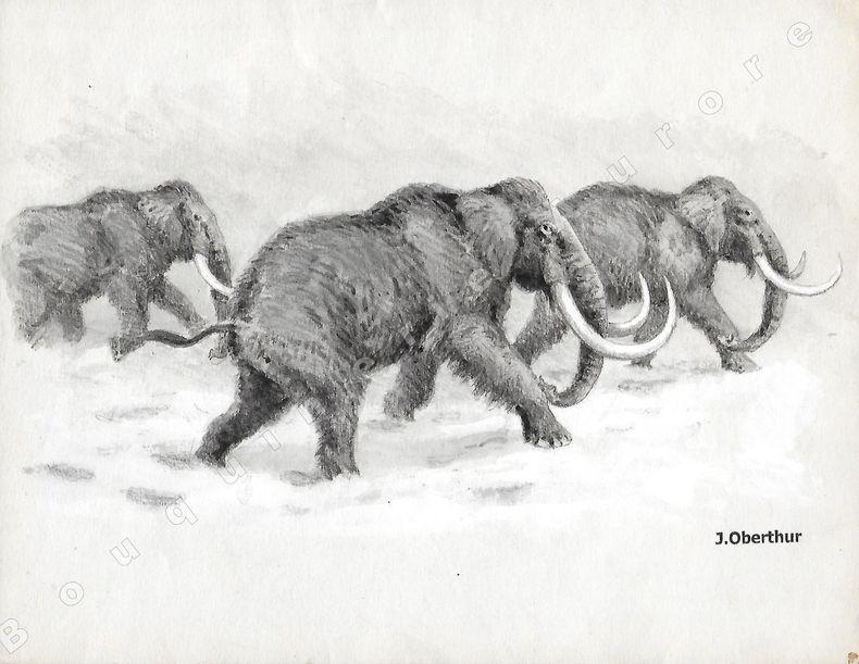 """Mammouths (Elephas primigenius).Dessin original à l'encre de chine, au lavis et rehaut de gouache blanche sur papier type Canson, cachet """"J. Oberthur"""" ..."""