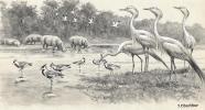 Grues de Nubie & Vanneaux armés (Hippopotames dans le fond).Dessin original à l'encre de chine, au lavis et rehaut de gouache blanche sur papier type ...