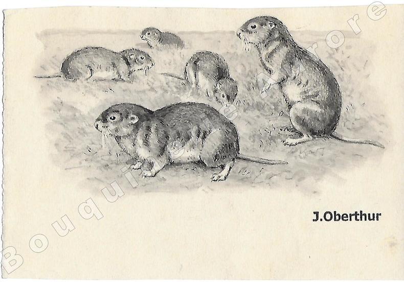 """Campagnols.Dessin original à l'encre de chine et au lavis sur papier type Canson, cachet """"J. Oberthur"""" en bas à droite.. OBERTHUR (Joseph) ..."""