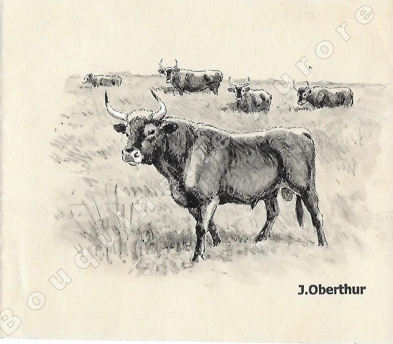 """Aurochs noirs.Dessin original à l'encre de chine, au lavis et rehauts de gouache blanche sur papier type Canson, cachet """"J. Oberthur"""" en bas à ..."""