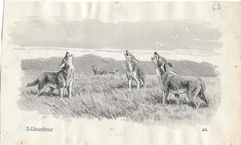 """Coyottes.Dessin original à l'encre de chine et au lavis sur papier type Canson, cachet """"J. Oberthur"""" en bas à gauche.. OBERTHUR (Joseph) (1872-1947), ..."""