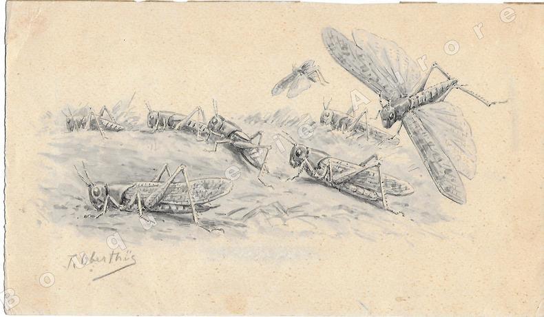 """Criquets adulte et immatures.Dessin original à l'encre de chine et au lavis sur papier type Canson, signé """"J. Oberthur"""" au crayon en bas à gauche.. ..."""