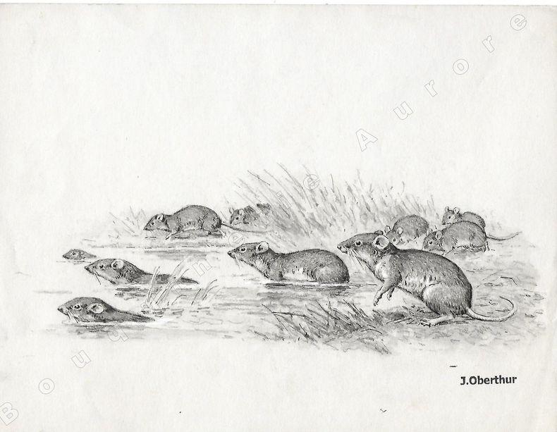"""Migration de Surmulots.Dessin original à l'encre de chine et au lavis sur papier type Canson, cachet """"J. Oberthur"""" en bas à droite.. OBERTHUR (Joseph) ..."""