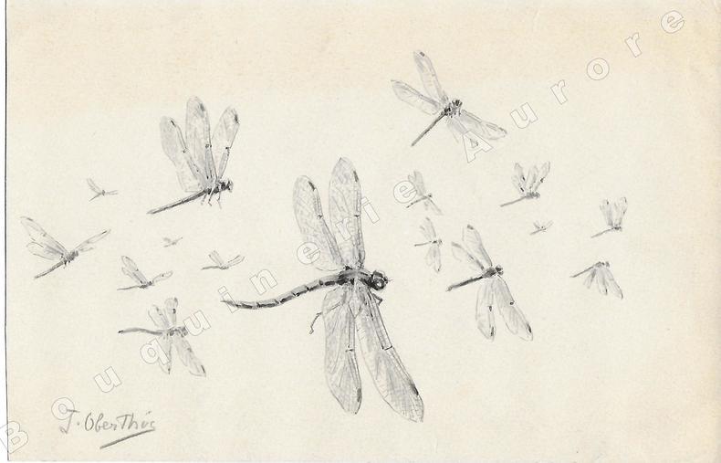 """Libellules.Dessin original à l'encre de chine et au lavis sur papier type Canson, signé """"J. Oberthur"""" au crayon en bas à gauche.. OBERTHUR (Joseph) ..."""