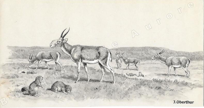"""Antilopes Saïgas.Dessin original à l'encre de chine, au lavis et rehauts de gouache blanche sur papier type Canson, cachet """"J. Oberthur"""" en bas à ..."""