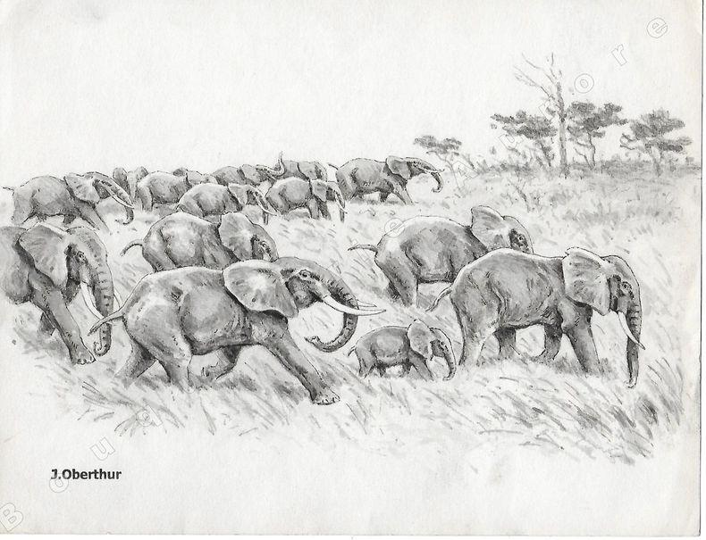 """Migration saisonnière d'Eléphants d'Afrique.Dessin original à l'encre de chine et au lavis sur papier type Canson, cachet """"J. Oberthur"""" en bas à ..."""