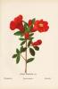 Fleurs de la Palestine. 54 feuilles en chromolithographie dessinées d'après nature.. Zeller (Hanna, née Gobat à Nazareth) :