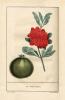 Le Panier de fruits, ou descriptions botaniques et notices historiques des principaux fruits cultivés en France.. [Miger, P.A.M.]
