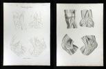 Pulsadern des Knie's - Arteriae articulares.. Oesterreicher, Johann Heinrich (1805-1843):