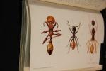 Le monde social des fourmis du globe comparé à celui de l'homme.. FOREL Auguste: