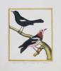 [PHILIPPINES] Traquet noir des Philippines - Le grand Traquet des Phillippines.. MARTINET (François-Nicolas) & BUFFON (George-Louis Leclerc de).