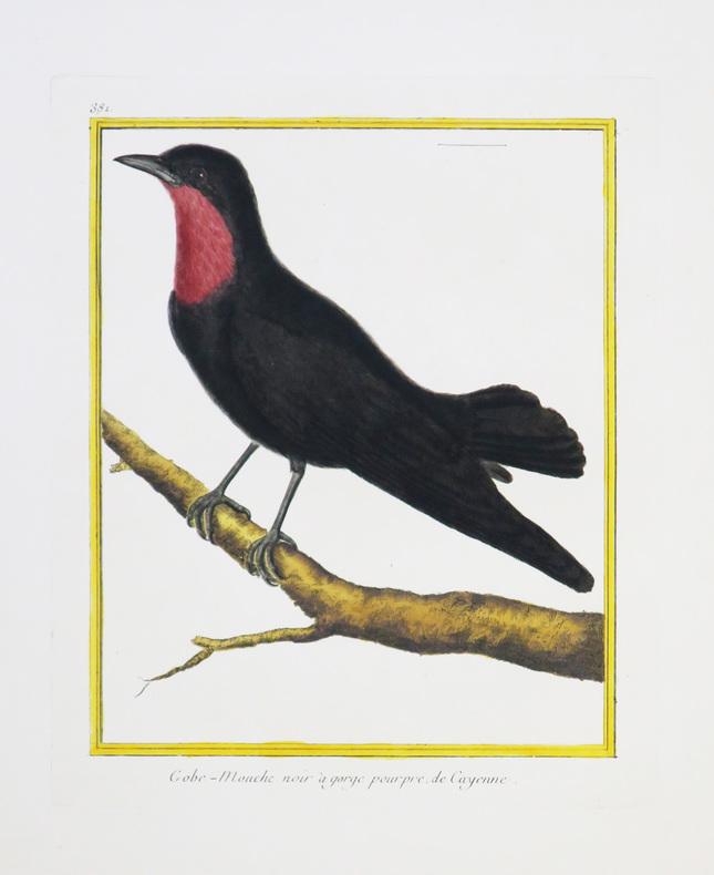 [CAYENNE] Gobe-mouche noir à gorge pourpre de Cayenne.. MARTINET (François-Nicolas) & BUFFON (Georges Louis Leclerc, comte de).