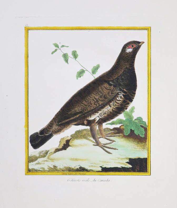 [CANADA] Gélinote mâle, du Canada.. MARTINET (François-Nicolas) & BUFFON (Georges Louis Leclerc, comte de).