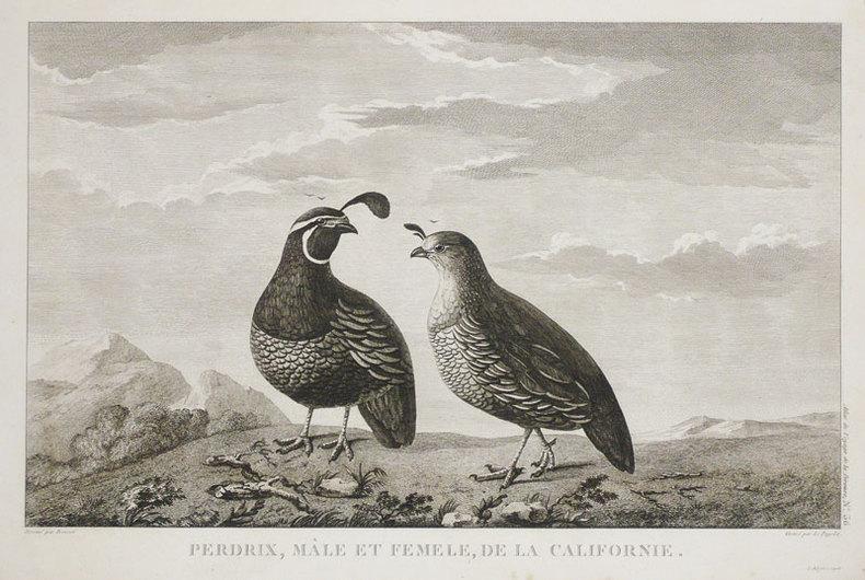 Perdrix, mâle et femelle, de la Californie.. LA PÉROUSE (Jean-François de Galaup, comte de);