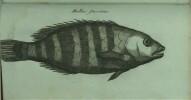 Voyage de C.P. Thunberg au Japon, Par le Cap de Bonne-Espérance, les îles de la Sonde, &c. Traduits, rédigés et augmentés de notes considérables sur ...