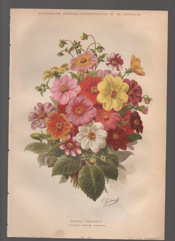 Dahlia variabilis..