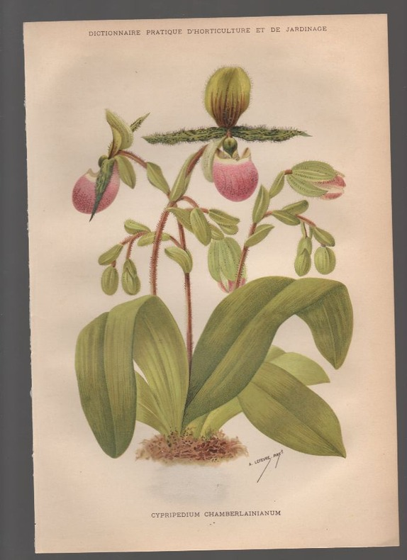 Cypripedium chamberlainianum..