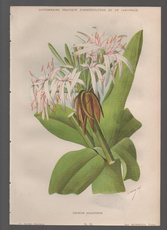Crinum asiaticum..