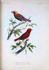 Descriptions of new species of birds of the genera VIDUA, Cuvier, EUPLECTES, Swainson, and PYRENESTES, Swainson, specimens of which are in the ...