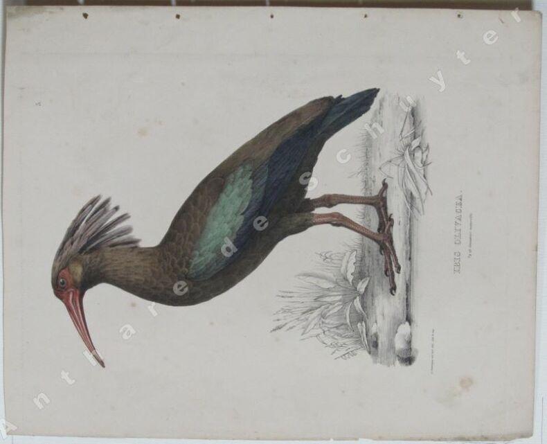 IBIS OLIVACEA  1/2 de grandeur naturelle . Guillaume SEVEREYNS dessin & lithographie