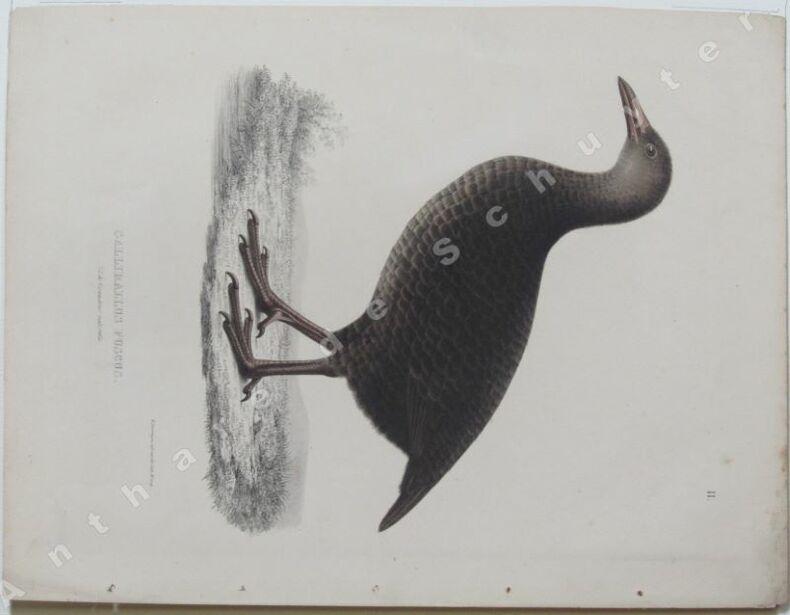 GALLIRALLUS FUSCUS 3/5 de grandeur naturelle . Guillaume SEVEREYNS dessin & lithographie