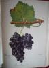 Traité général de viticulture Ampélographie  . VIALA Pierre et VERMOREL Victor
